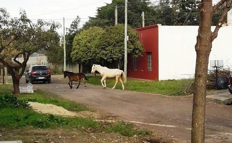 La presencia de animales sueltos en la vía pública es constante en San Pedro.